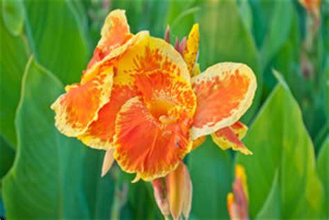 Indisches Blumenrohr Vermehren by Indisches Blumenrohr Canna Pflanzen Pflege Und Vermehren