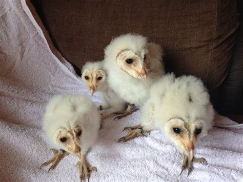 Barn Owl Breeders by 3 Beautiful Baby Barn Owls For Sale Seaham County