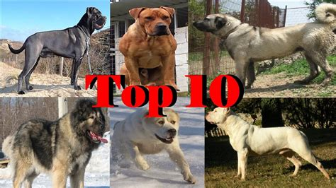 Top 10 Strongest Dogs 2016