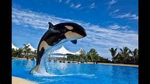 Whale Show  Orca Show  In Loro Parque