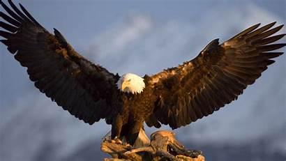 Eagles Backgrounds Eagle Bald Wallpapers Desktop Iphone