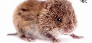 Piege A Rat Castorama : detruire les mulots taupier sur la france ~ Voncanada.com Idées de Décoration