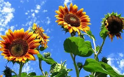 Sunflower Wallpapers Widescreen