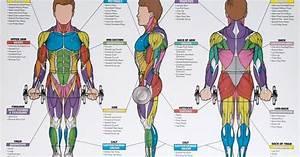 Men U0026 39 S Exercise  U0026 Muscle Guide Chart