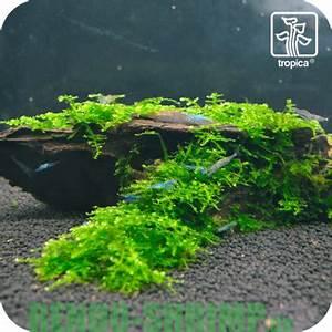 Moos Für Aquarium : mooswurzel mit christmas moos online kaufen rendo shrimp shop ~ Frokenaadalensverden.com Haus und Dekorationen