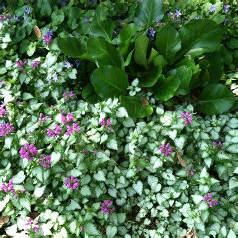 flowers that spillover 9 best gardening spill over plants images on pinterest