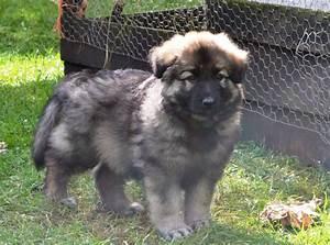 German Shepherd Puppy Blue and Tan | Diss, Norfolk ...