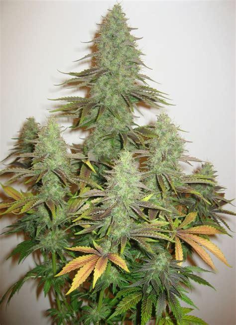 les vari 233 t 233 s de cannabis les plus productives du growshop alchimia
