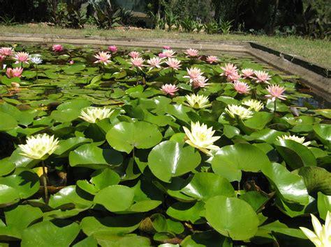 how water lilies grow growing water lilies water plants wallis creek watergarden