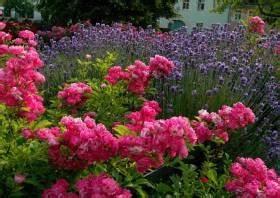 Rosen Und Lavendel : lavendel und rosen lavendel als optimale rosenbegleitpflanzung lavendula lavendel und rosen ~ Yasmunasinghe.com Haus und Dekorationen