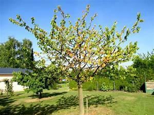 Planter Un Cerisier : planter des cerisiers sans vers ma passion du verger ~ Melissatoandfro.com Idées de Décoration