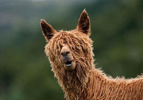 hilarious alpaca hairstyles