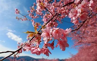 Blossoms Blossom Cherry Flowers Desktop Wallpapers Japanese