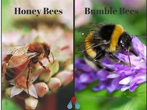 Types of Bees: Bumblebees vs. Honeybees