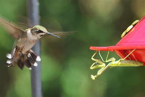 hummingbird predators what eats hummingbirds
