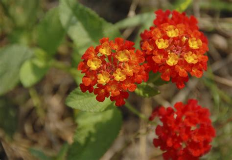 interesting facts   pretty lantana flowering plants