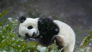 Panda And Snowfall Wallpaper Android Wallpaper | WallpaperLepi