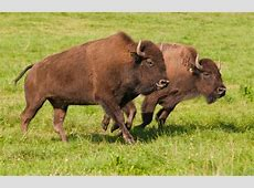 National Animal Of Belarus European Bison 123Countriescom