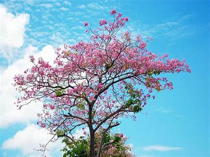 Cherry Blossom Tree Wallpapers Desktop