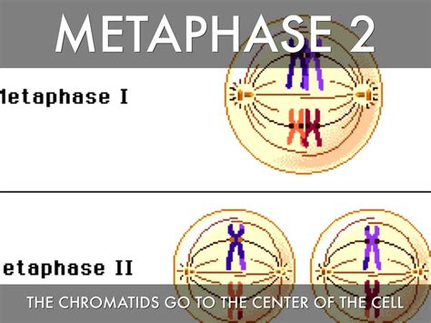 Metaphase 2 Diagram by Meiosis By Hallhd1