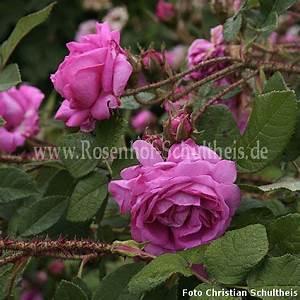 Rosen Düngen Im Frühjahr : little gem rosen online kaufen im rosenhof schultheis rosen online kaufen im rosenhof schultheis ~ Orissabook.com Haus und Dekorationen
