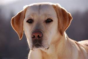 A Yellow Labrador Retriever