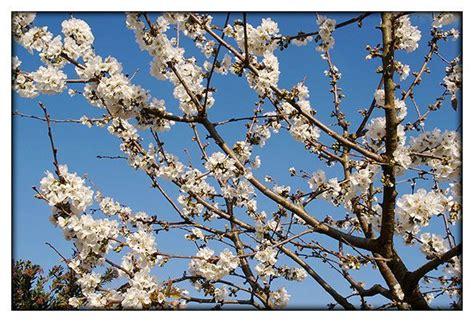 Résultat d'images pour cerisier en fleur monts du lyonnais