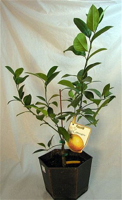 hirt s meyer lemon tree potted fruiting size 8