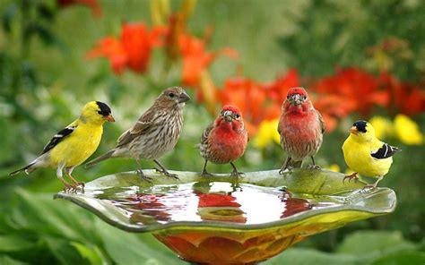 birds wallpapers cute birds drink water wallpaperscom
