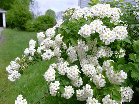 white flowering shrubs top 28 bush with clusters of white flowers spirea shrubs bridal wreath shrubs for bees
