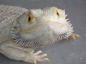 bearded dragon #lizard #nature | extraordinary creatures ...