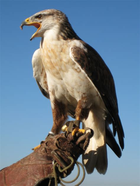 File:Buteo regalis 02.jpg - Wikimedia Commons