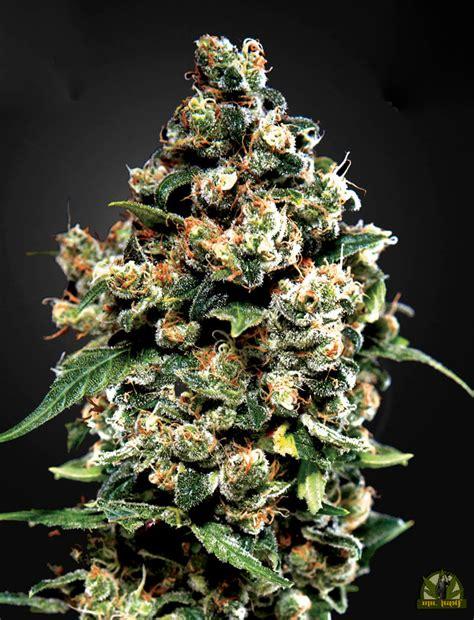 jack herer green house seeds