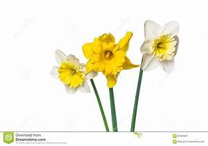 Stock Image Of Yellow Spring Daffodils On A White ...