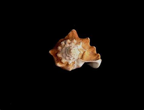 picture sea shell dark background