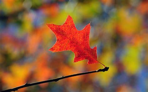 Orange Leaf Wallpaper by Nature Leaf Orange Leaves Oak Wallpaper 1680x1050