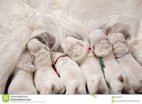 Puppies Drinking Milk From Mother Stock Photo Image