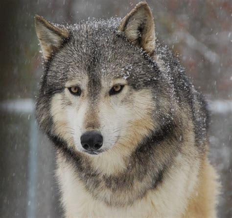 wolves  retiring