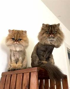 Best hair brush for persian cats – Popular breeds of cats ...