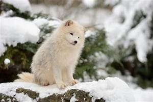 Arctic Foxes Will Warm Your Heart | Baby Animal Zoo