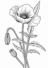 Coloring Poppy Flower sketch template