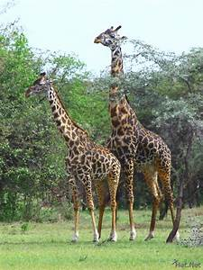 How Giraffes Mate Pictures to Pin on Pinterest - PinsDaddy