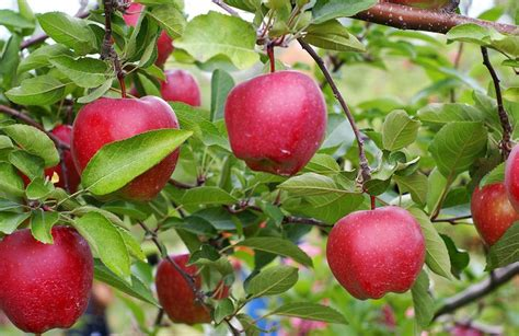 Uses for Crispin apples from A handy guide to the most ...