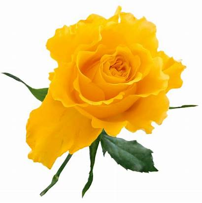 Rose Yellow Transparent Clip Clipart Roses Flowers