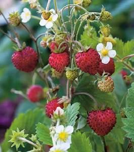 Plant De Fraisier : comment choisir ses plants de fraisiers guide complet ~ Premium-room.com Idées de Décoration