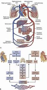 Cardiovascular System And Lymphatic Vessels