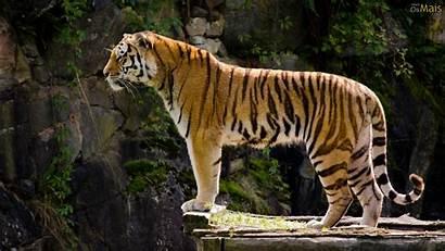 Tigre Imponente Parede Papel Osmais Wallpapers