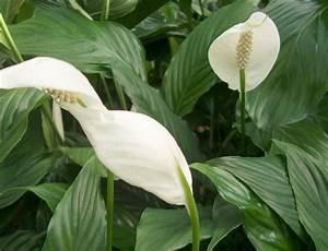 Plante Fleurie Intérieur : plante d int rieur fleur blanche photos de magnolisafleur ~ Premium-room.com Idées de Décoration