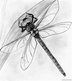 Realistic Dragonfly Drawing