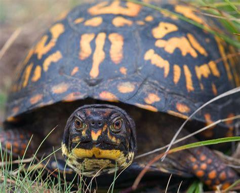 tortuga de caja wikipedia la enciclopedia libre